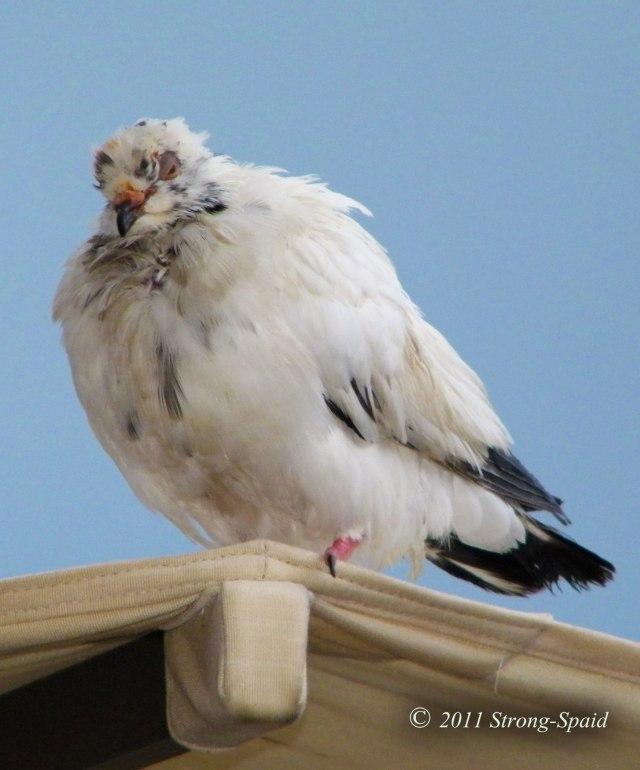 Fast-food-pigeon