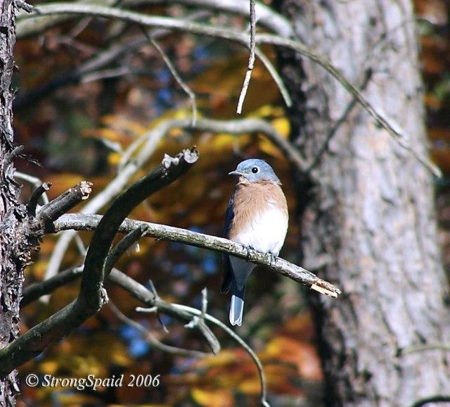 Bluebird-of-Consternation