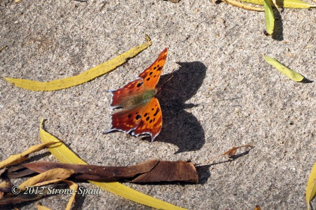Butterfly-shadow