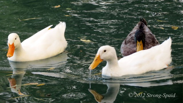 Duck-reflections_1