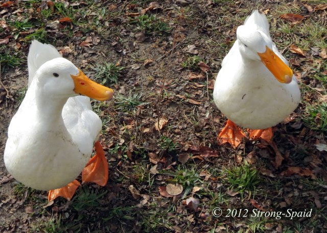 Two-ducks