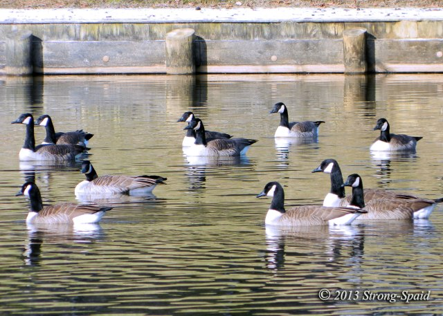 Canada-Geese-in-lake