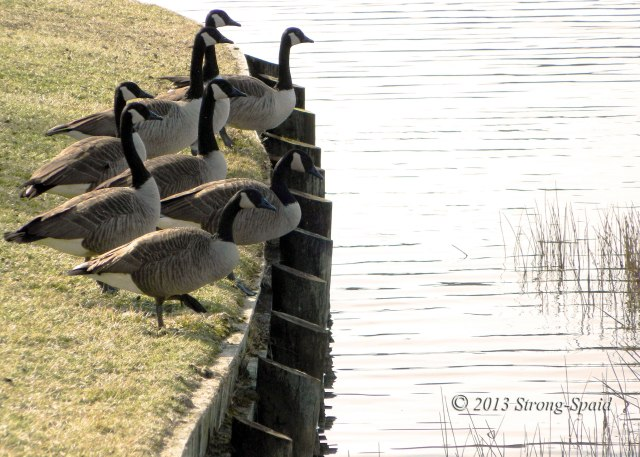 Geese-on-the-edge