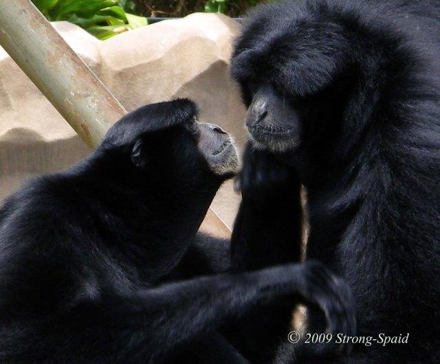 Gibbons-at-Honolulu-Zoo