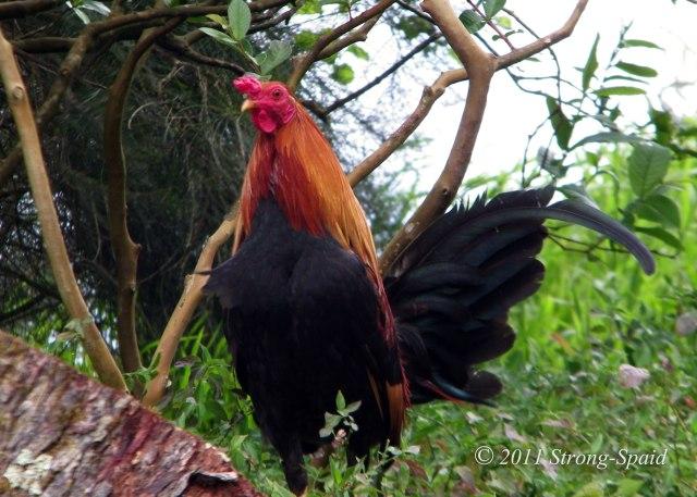 Pali-Ridge-Rooster