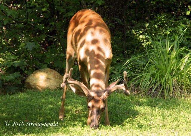 Buck-Deer_5