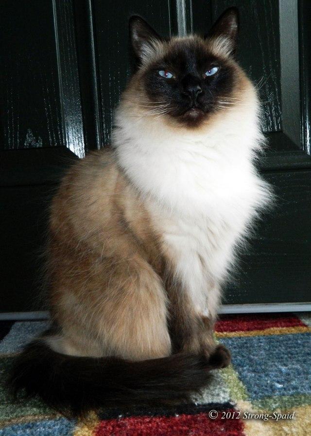 Balinese-cat