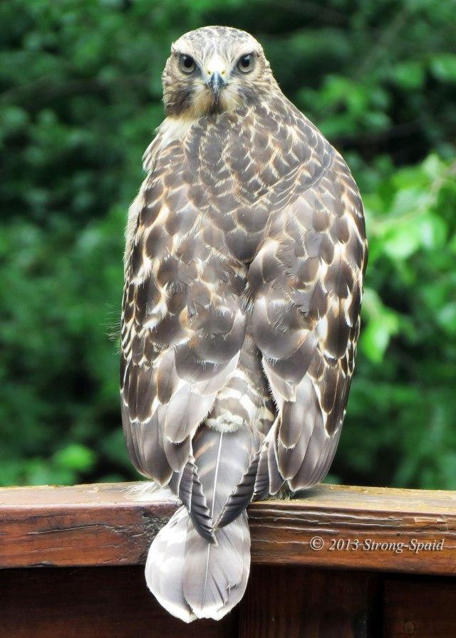 Hawk-Wisdom
