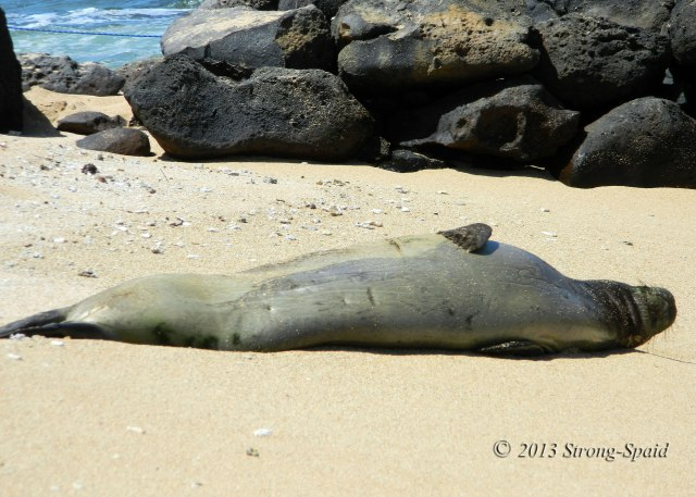 Sleeping-Monk-Seal