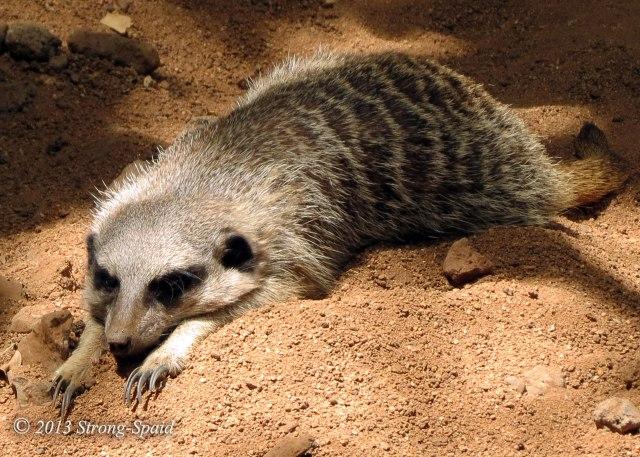 Tired-Meerkat