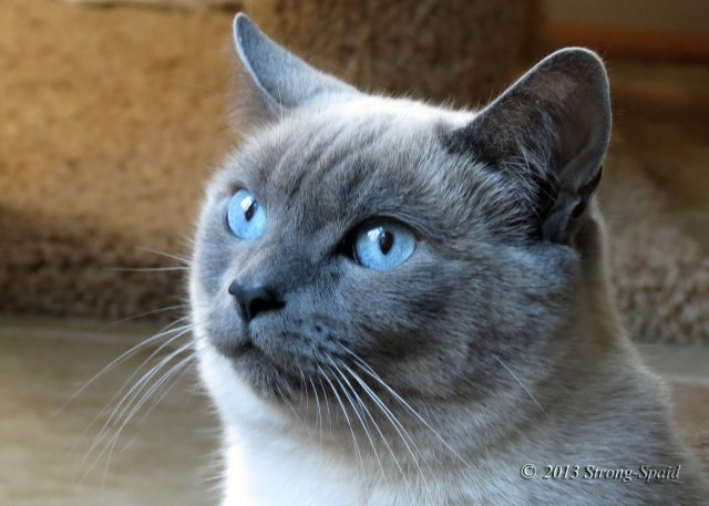 Blue-Point-Siamese