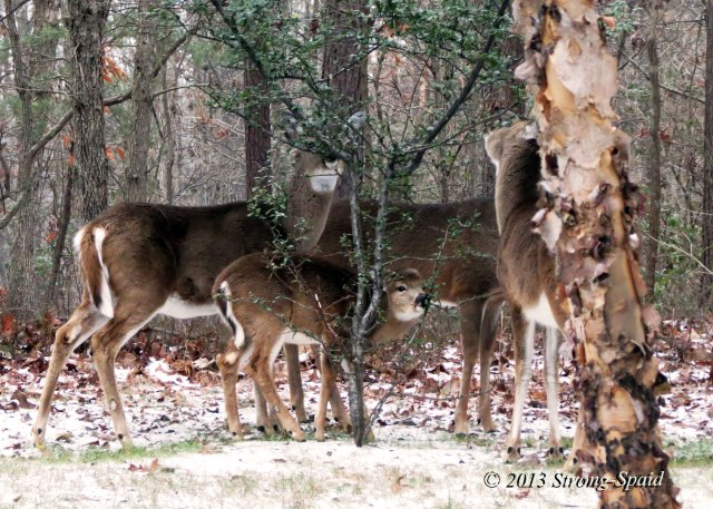 Deer-eating-tree
