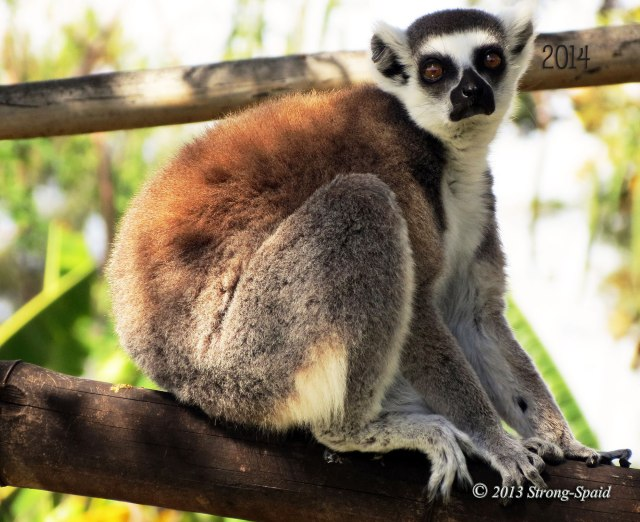 New-Years-Lemur