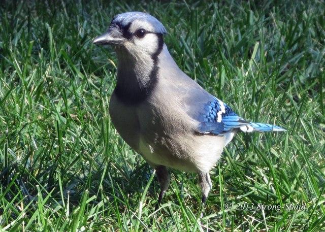 Worried-Blue-Jay