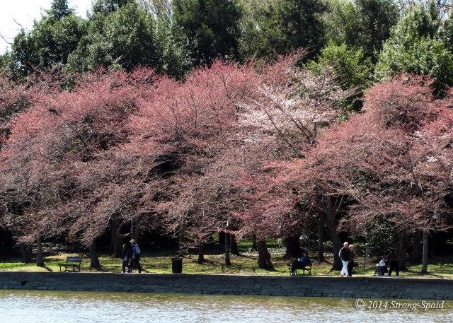 Cherry-Blossom-Walk