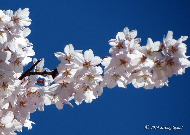 Cherry-blossom_7