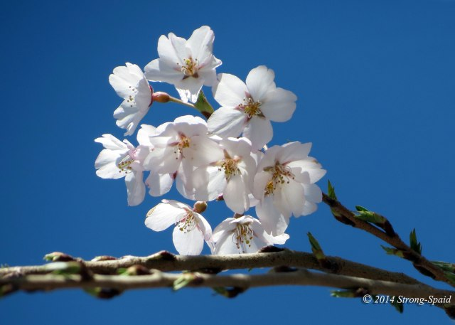 Cherry-blossoms_1