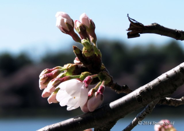 Cherry-blossoms_2