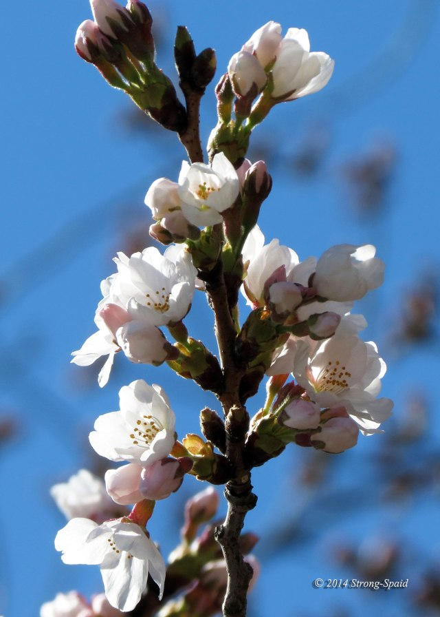 Cherry-blossoms_3