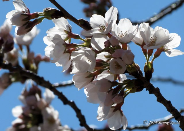 Cherry-blossoms_5