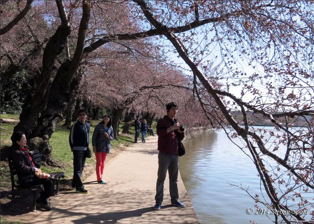 Cherry-blossoms_6