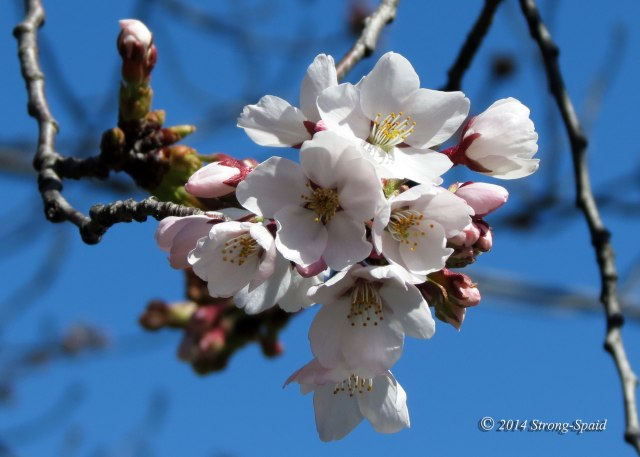 Cherry-blossoms_9