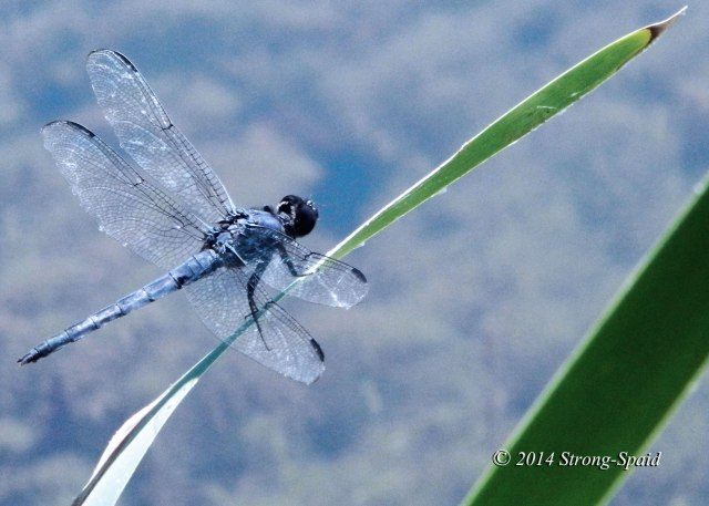 Dragonfly_2a