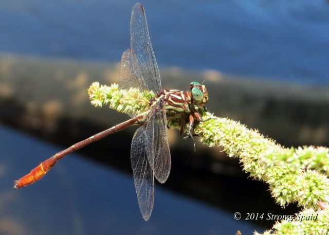 Striped_dragonfly_3