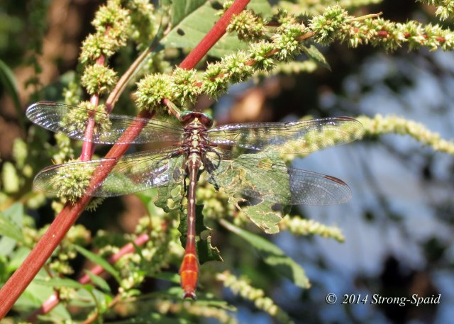 Striped_dragonfly_5