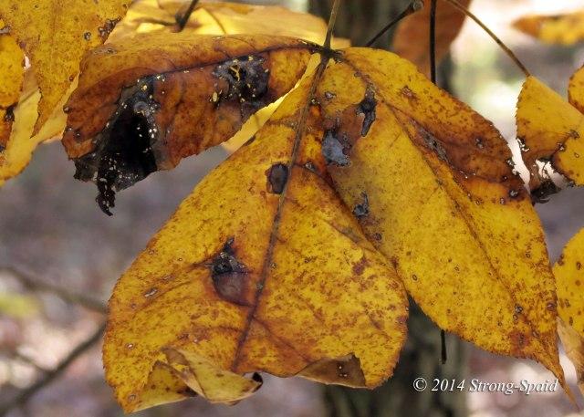 Dying-Leaf_3