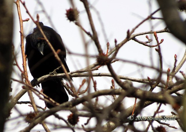 Crow-in-a-Tree