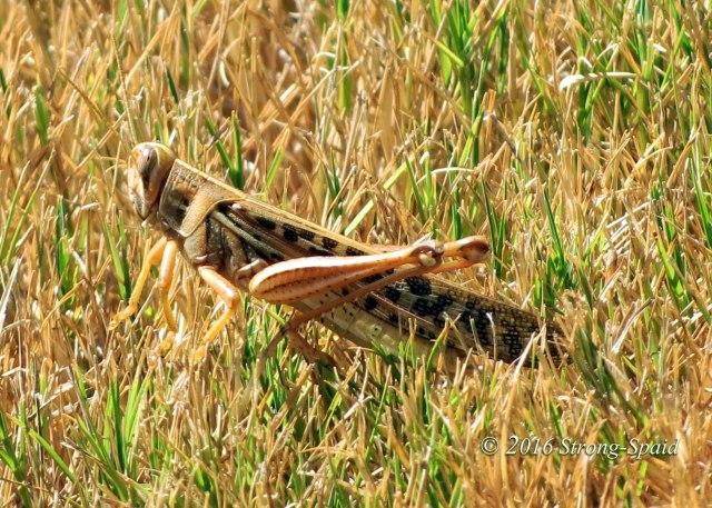 Texas-Grasshopper