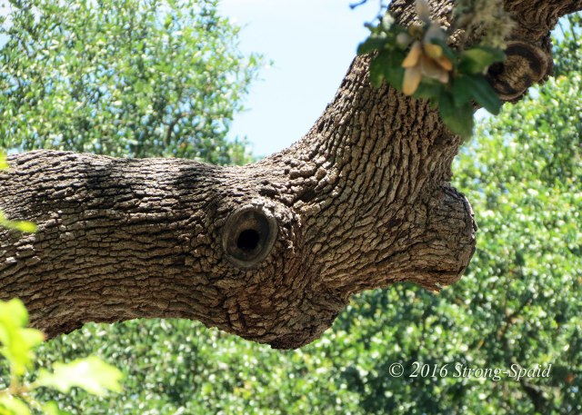 Texas-Live-Oak-branch