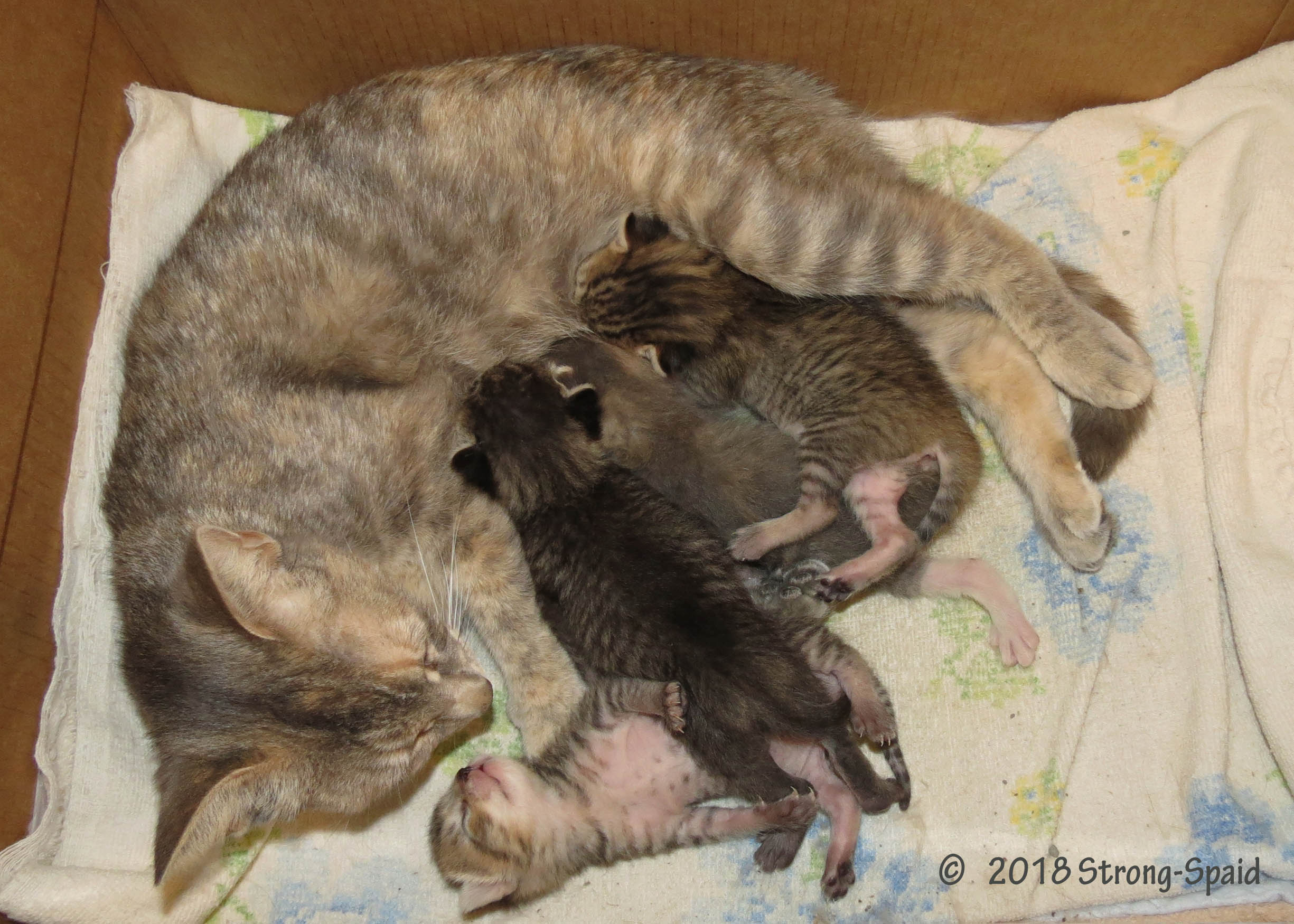 Foster Kittens with mom