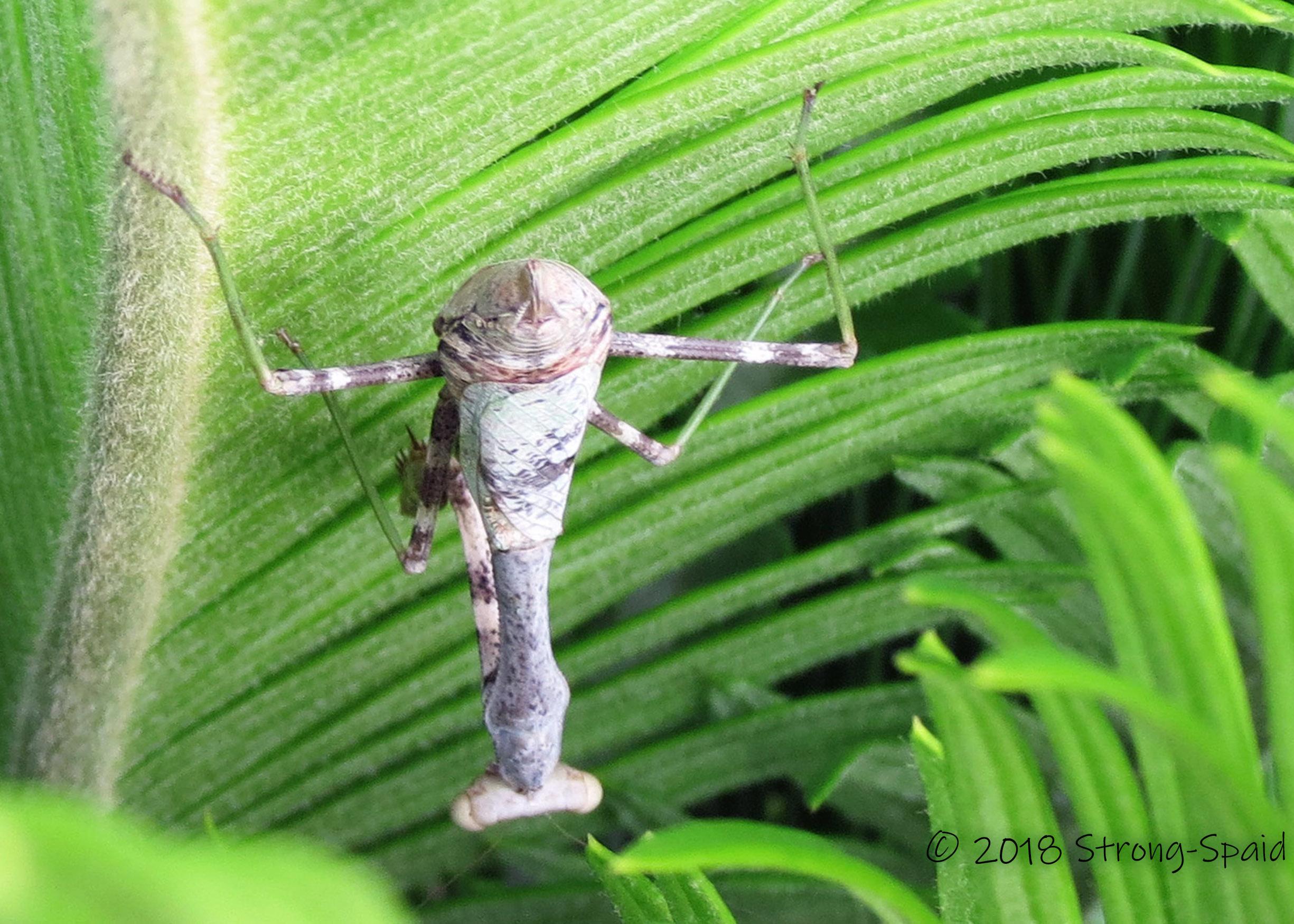 Praying Mantis upside down